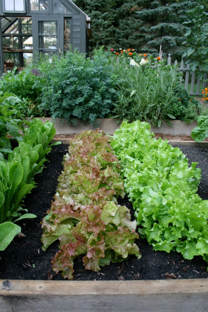 I dedicated one of the raised beds to leafy greens last season.