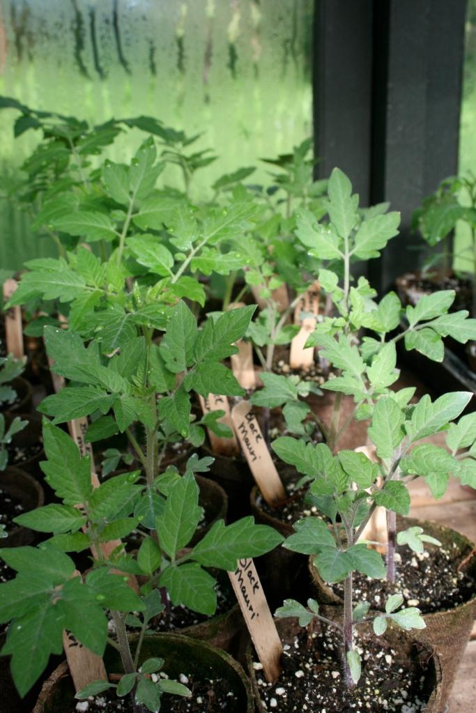 Heirloom tomato plants.