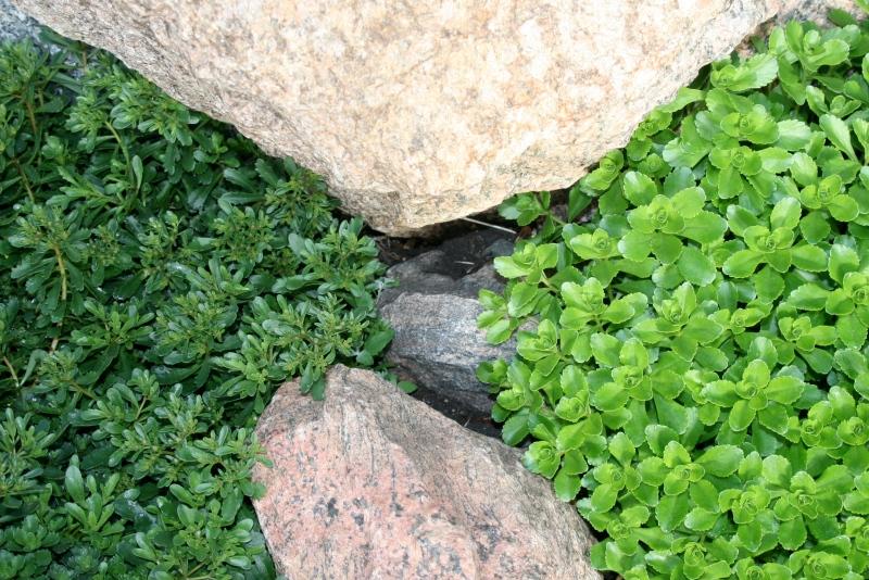 Sedum-Stonecrop