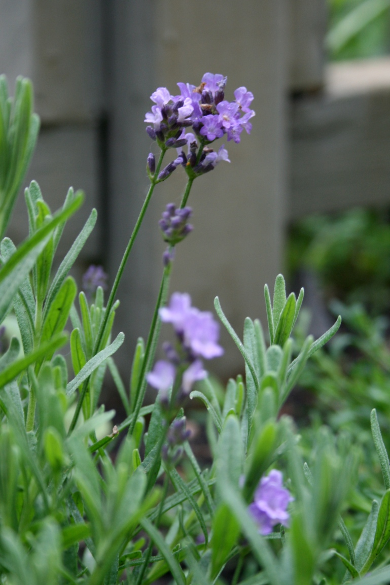 I'm going to grow Lavender some day...