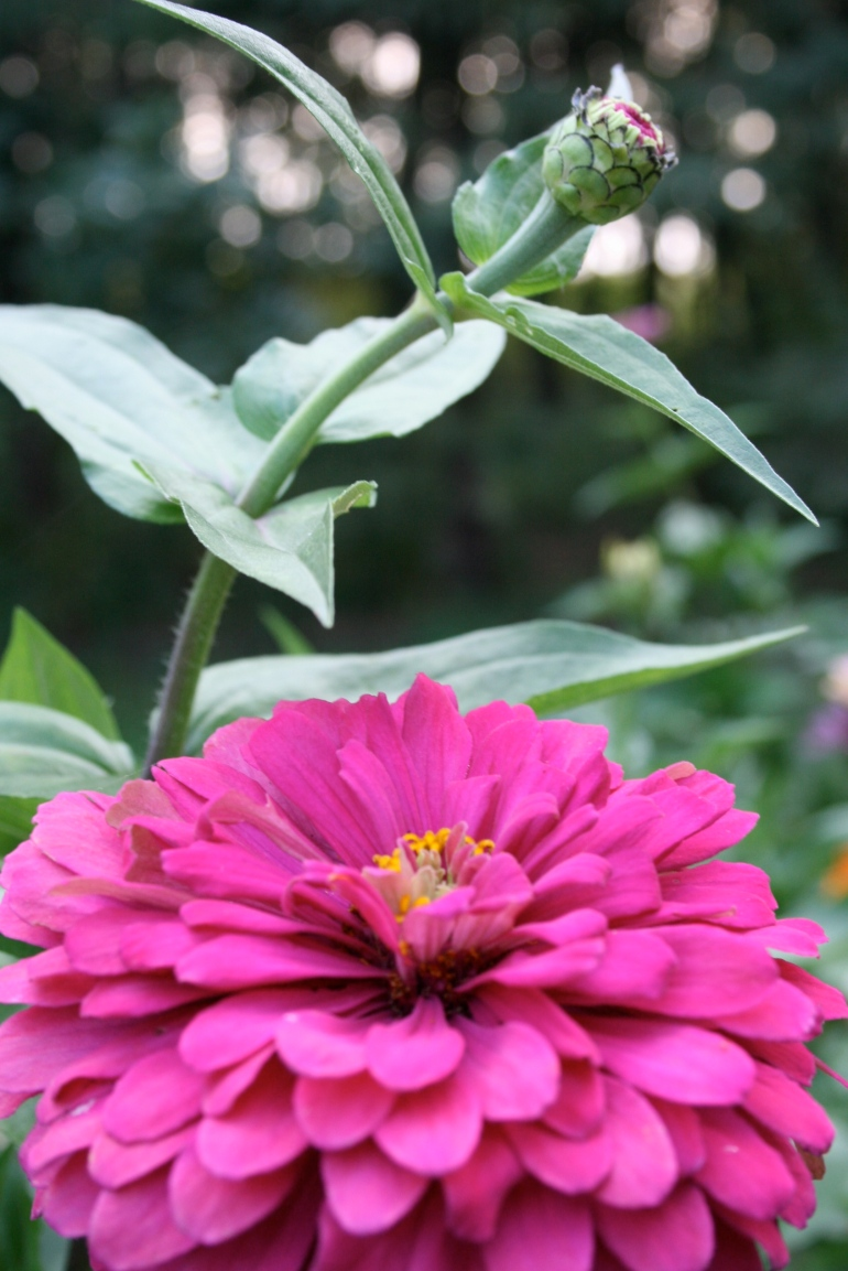 The Zinnia's are coming