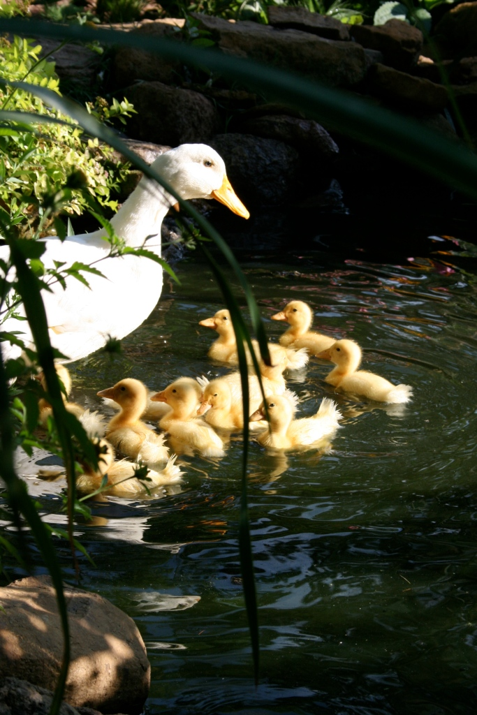 The ducklings and Mama swam, ate bugs, and snoozed on the pond edge.