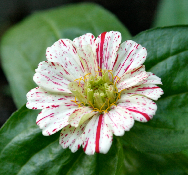 Peppermint striped zinnia