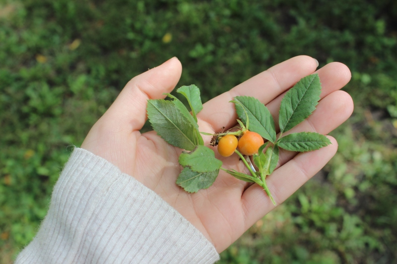 Rose hips aren't quite ripe yet.